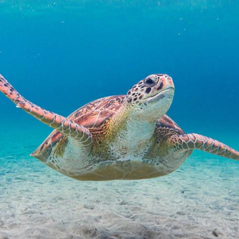 tortue de Grande Anse